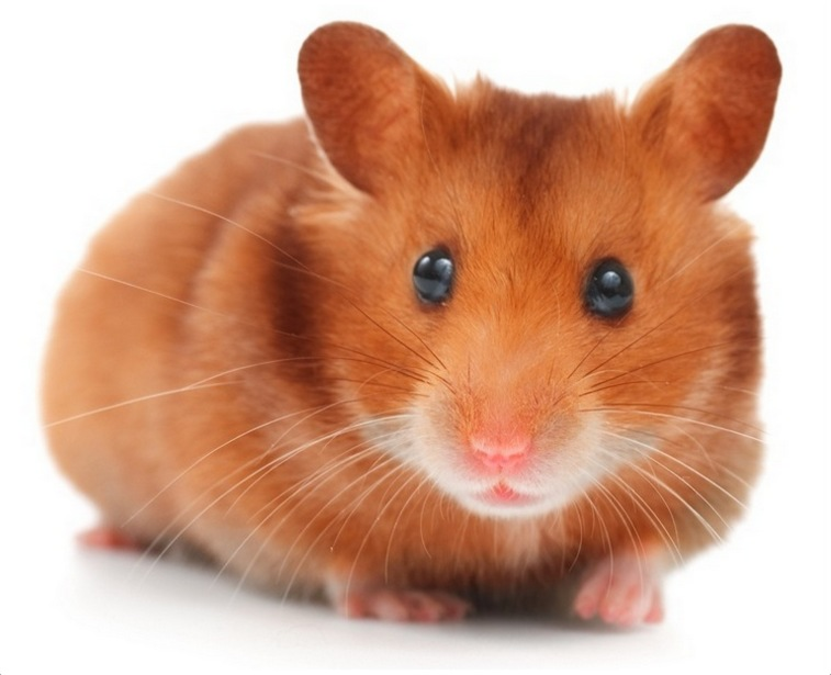 hamster facts pictures lifespan appearance health