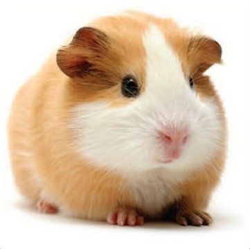 Hamster - Facts, Pictures, Lifespan, Appearance, Health Issues