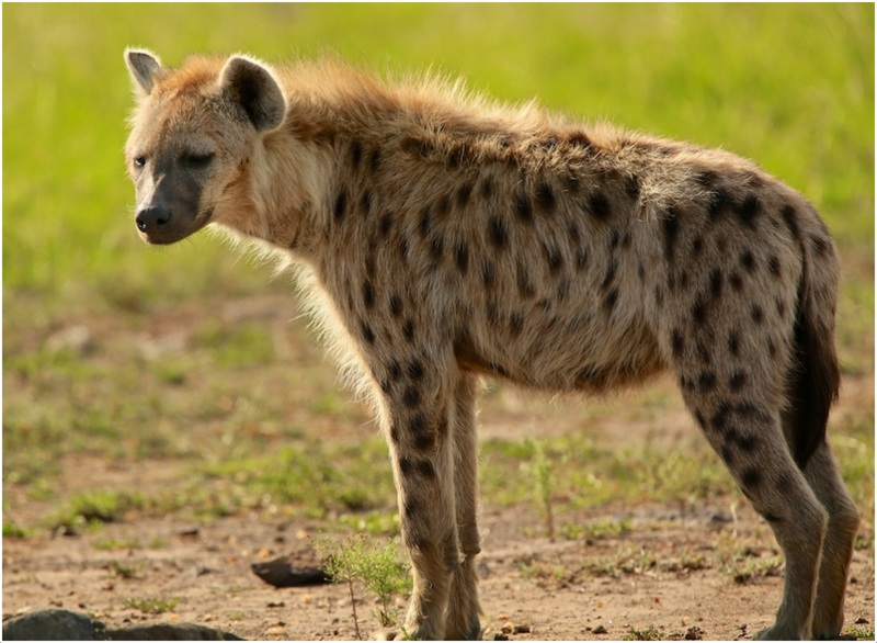 Can Hyenas Breed With Dogs
