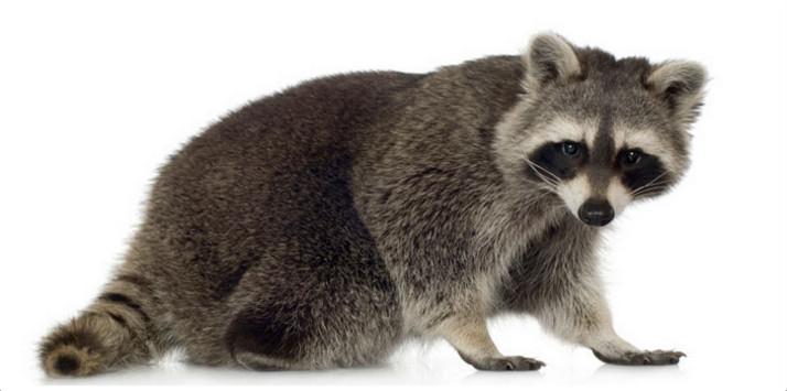Raccoon - Facts, Pictures, Lifespan, Diet, Behaviour ...