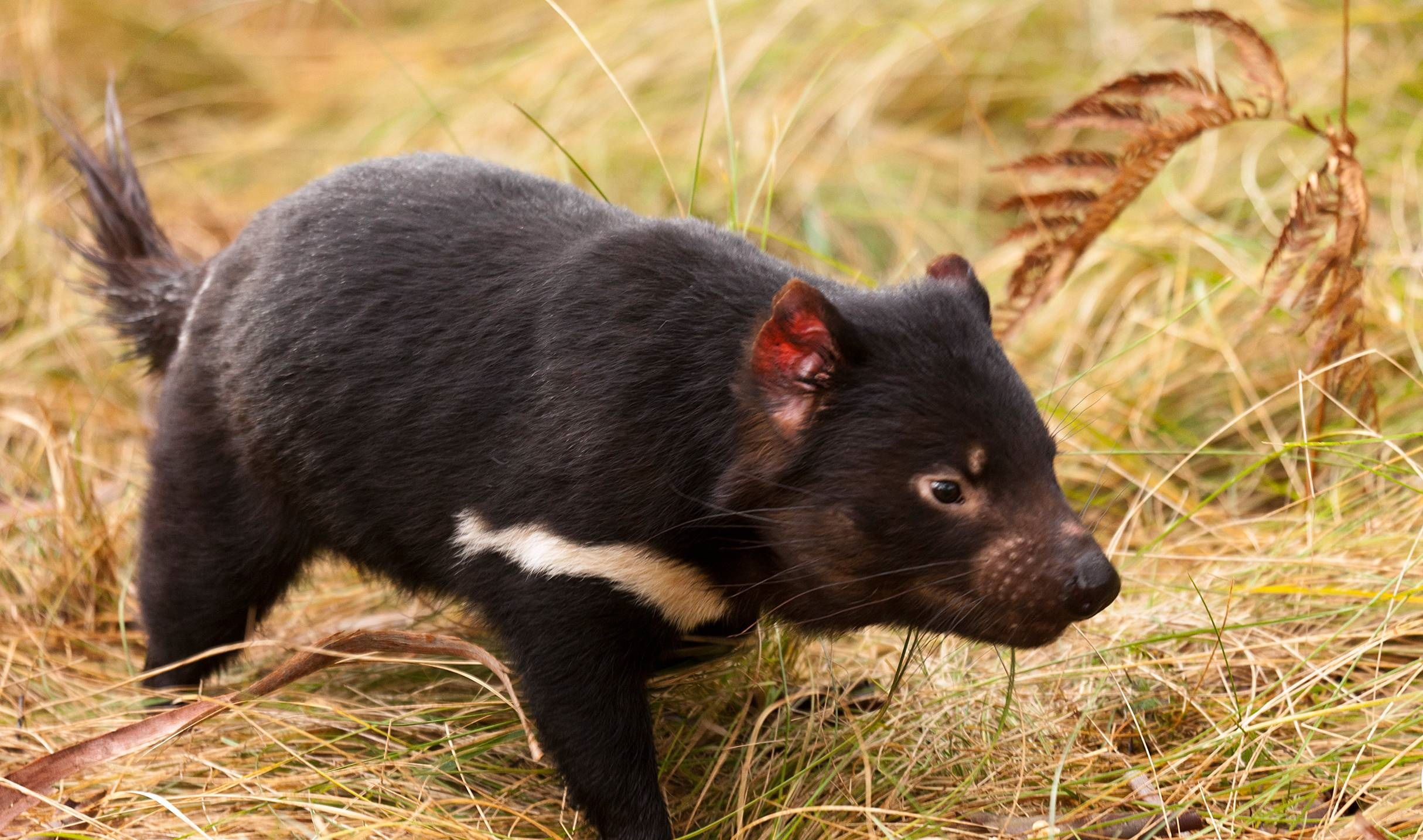 tasmanian devil facts pictures diet character behavior