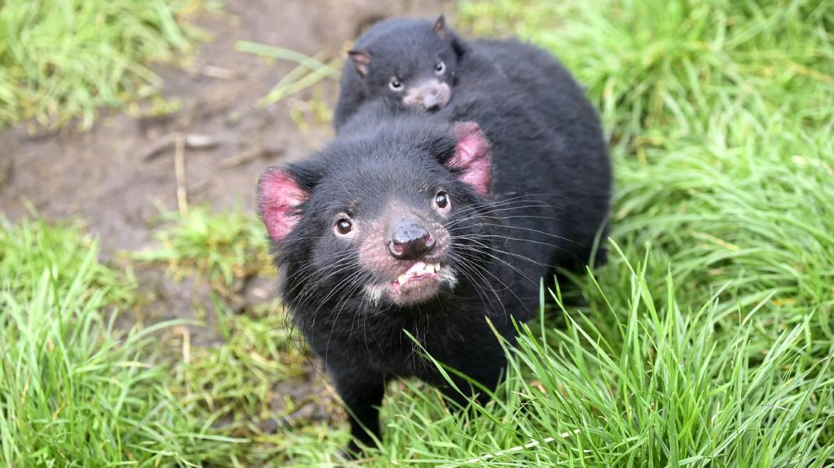What Do Tasmanian Devils Eat | Tasmanian Devil's Diet