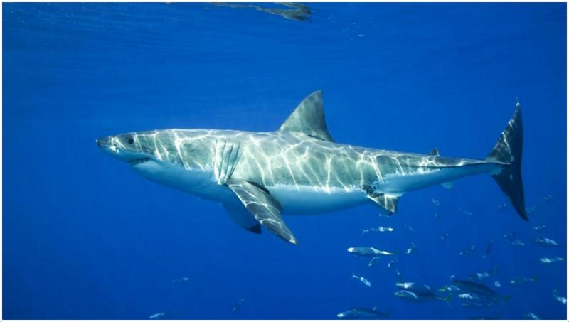 Great White Shark - Facts, Pictures, Information, Characteristics, Breeding   Animals Adda