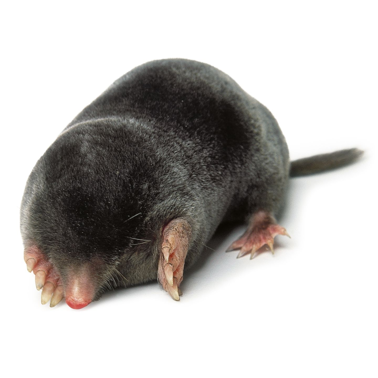 Mole (Animal) - Facts, Pictures, Diet, Character, Behavior