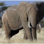 African Elephant – Facts, Pictures, Diet, Habitat