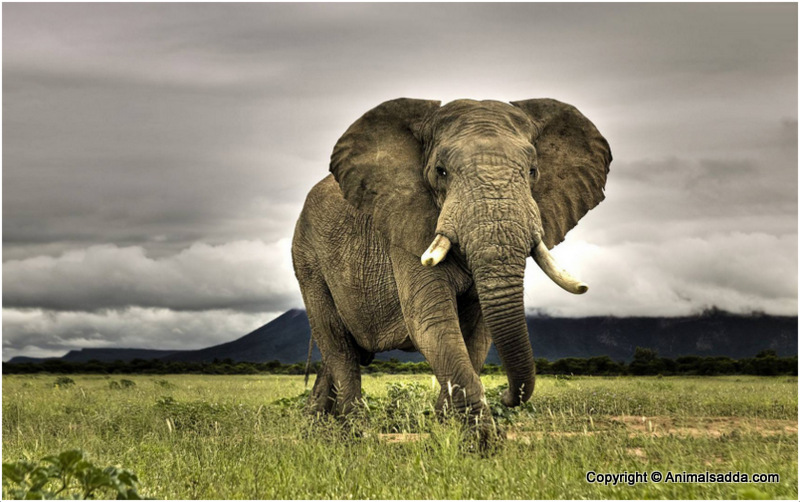 African Elephant - Facts For Kids, Pictures, Diet, Habitat ...