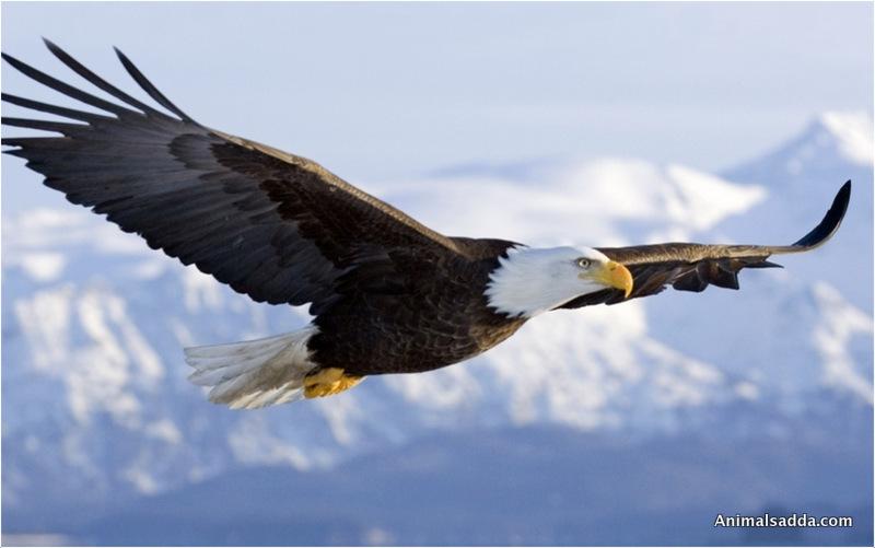 Bald Eagle Bald Eagle Bald Eagle ...