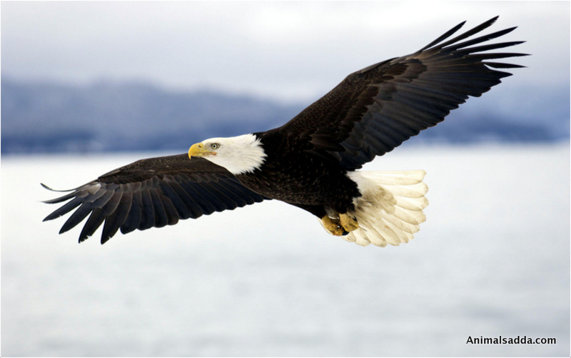 Delightful ... Bald Eagle ...