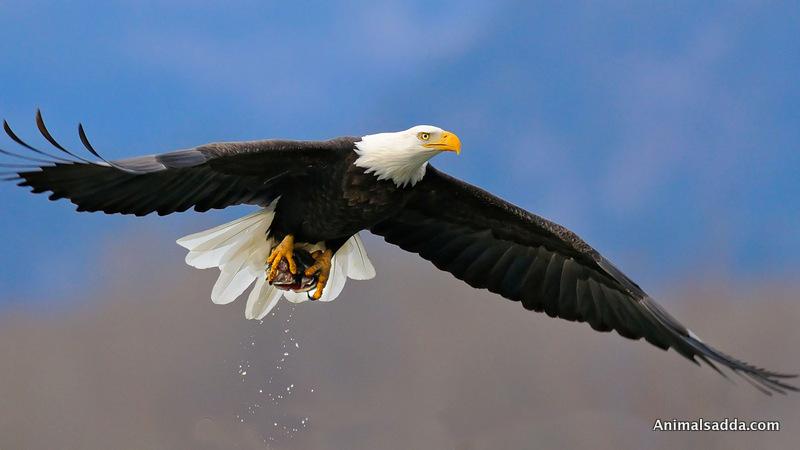 ... Bald Eagle ...