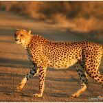 Cheetah – Facts, Pictures, Diet, Habitat, Characteristics