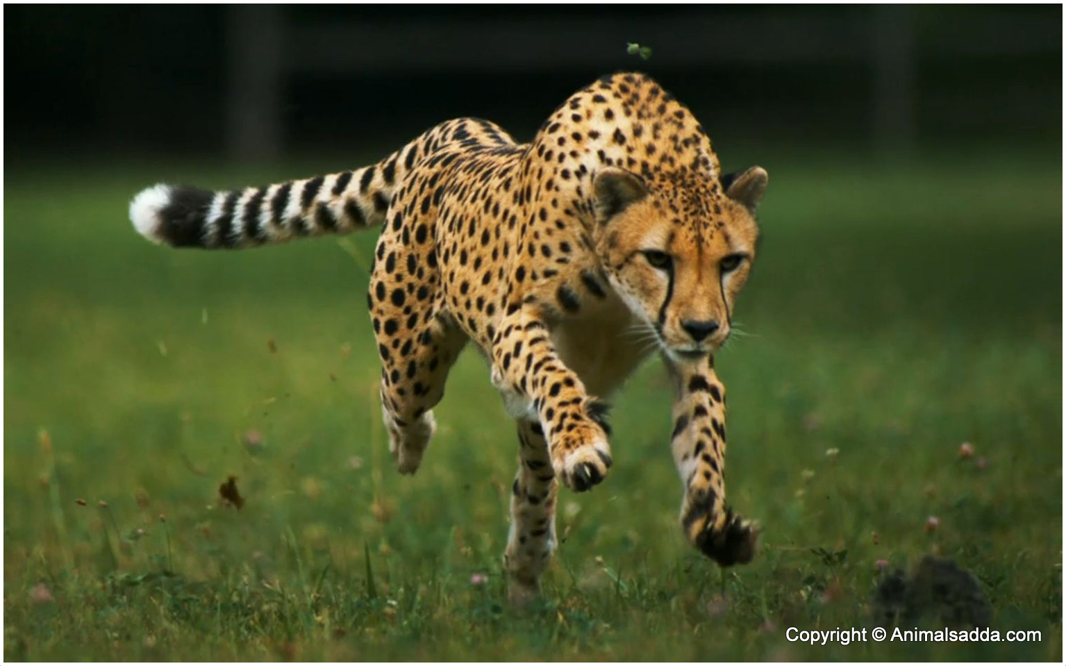 Cheetah - Facts For Kids, Pictures, Diet, Habitat