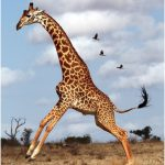 Giraffe – Facts For Kids, Pictures, Diet, Lifecycle, Appearance, Information