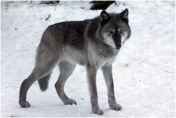 Gray Wolf Wolves Interesting Facts Pictures Diet