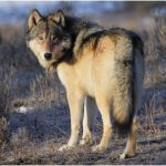 Gray Wolf (Wolves)- Interesting Facts, Pictures, Diet, Habitat, Characteristics