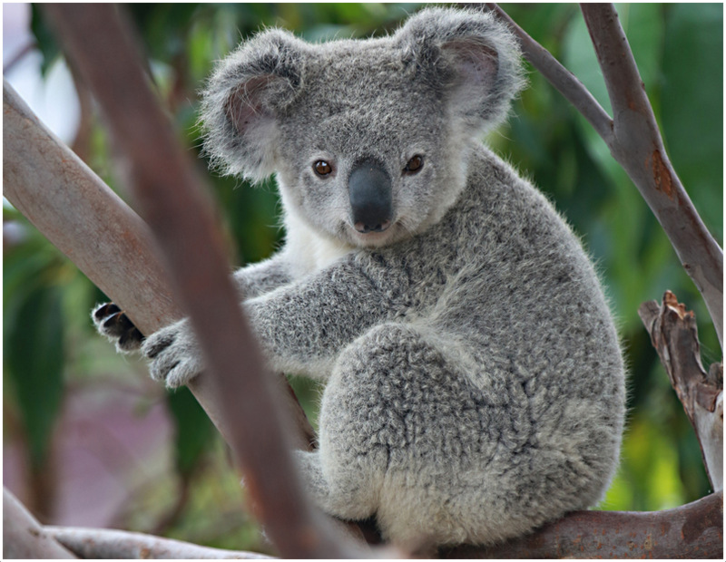 Koala (Bear)- Interesting Facts For Kids, Pictures ...