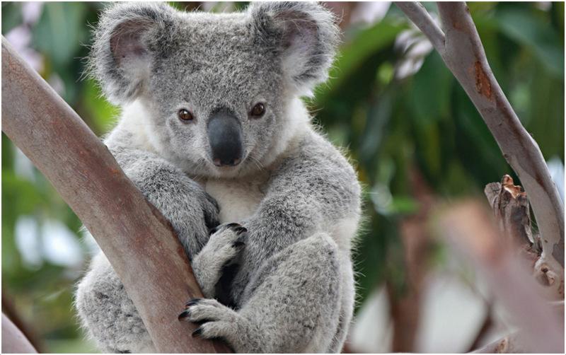 Koala bear interesting facts for kids pictures - Koala components ...