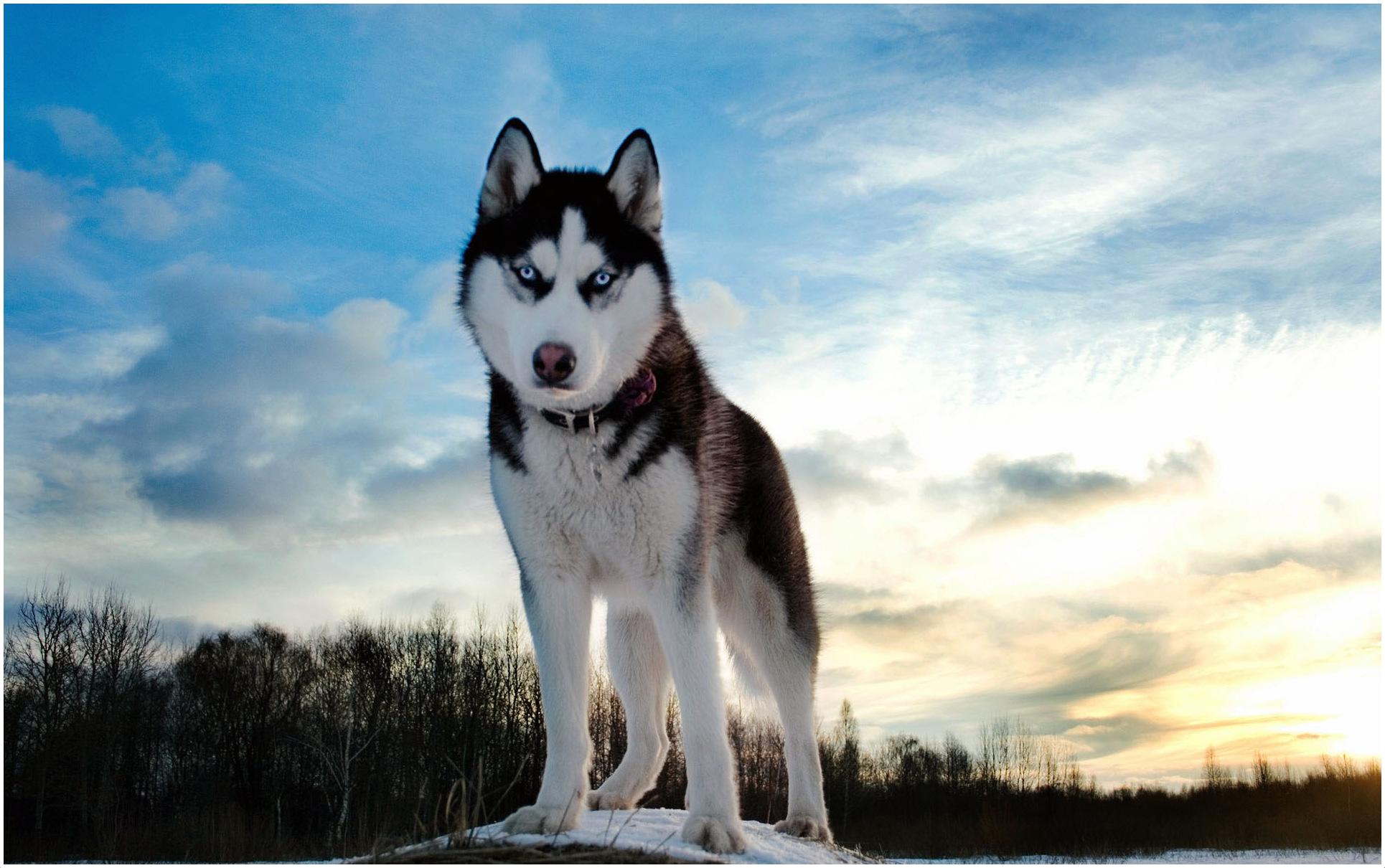 Alaskan Husky Facts Pictures Puppies Breeders