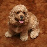 American Cocker Spaniel – Facts, Pictures, Life Span, Breeders, Appearance