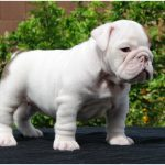 Australian Bulldog – Facts, Pictures, Diet, Temperament, Health