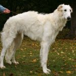 Borzoi – Facts, Pictures, Breeders, Temperament, Puppies, Habitat