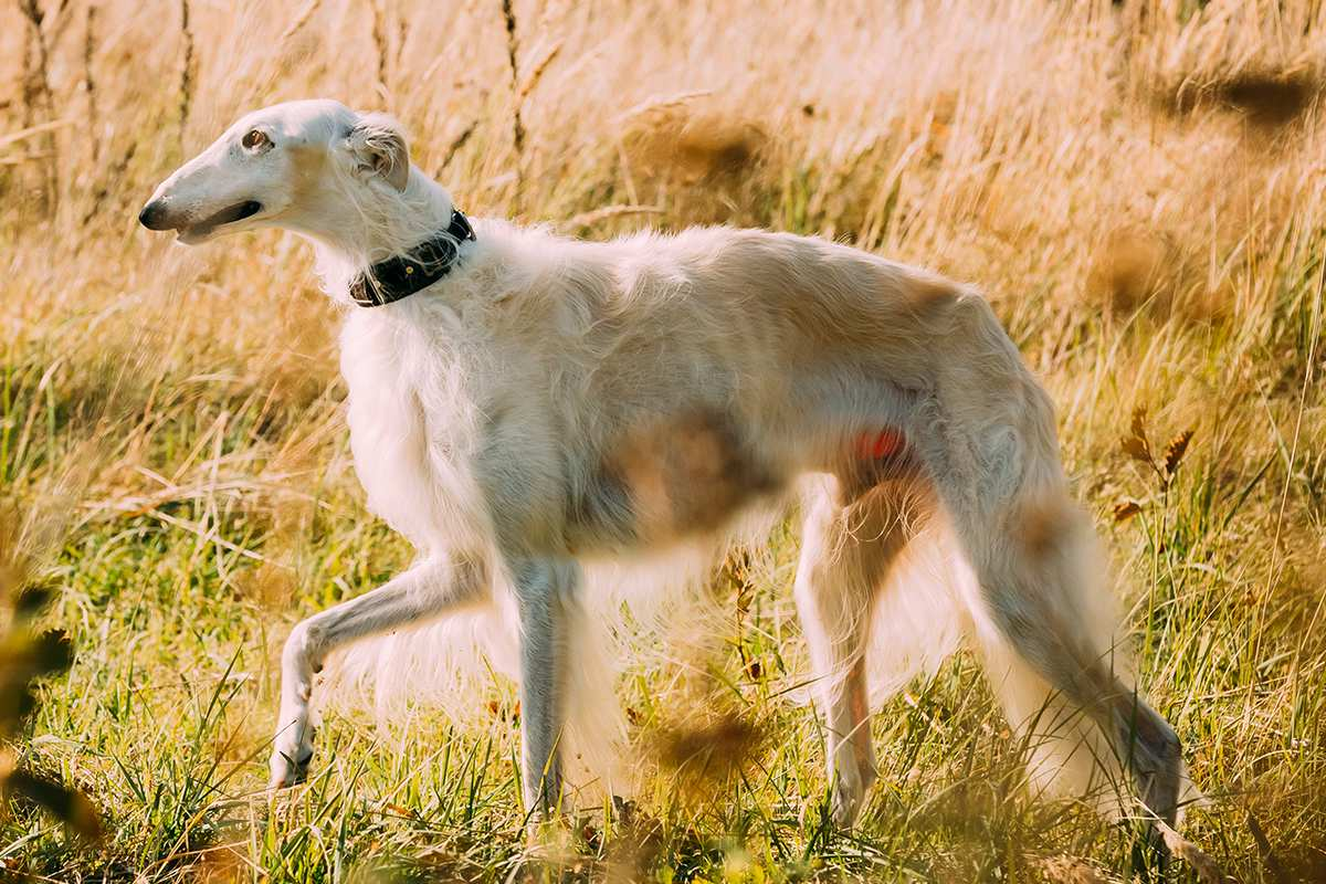 Borzoi Dog Facts Pictures Breeders Temperament