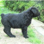 Bouvier des Flandres – Facts, Pictures, Puppies, Breeders, Information