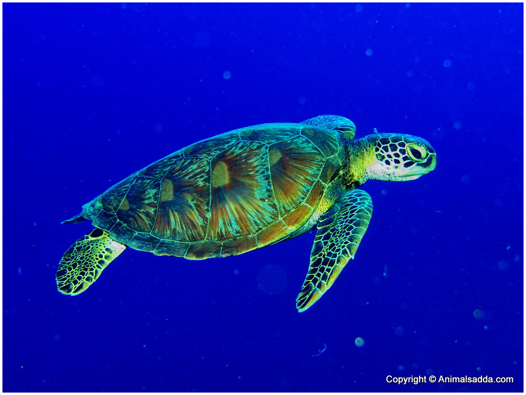 green sea turtle The term green in its name is due to the fact that the turtle's subdermal fat is green of hard-shelled sea turtles, this species is the largest passes entire life in the ocean, save for hatching and nesting events.