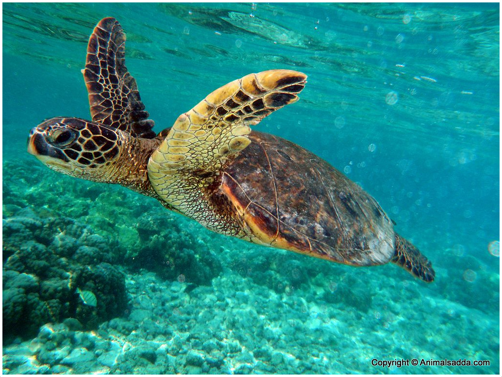 Green Turtle Facts For Kids Pictures Diet Habitat