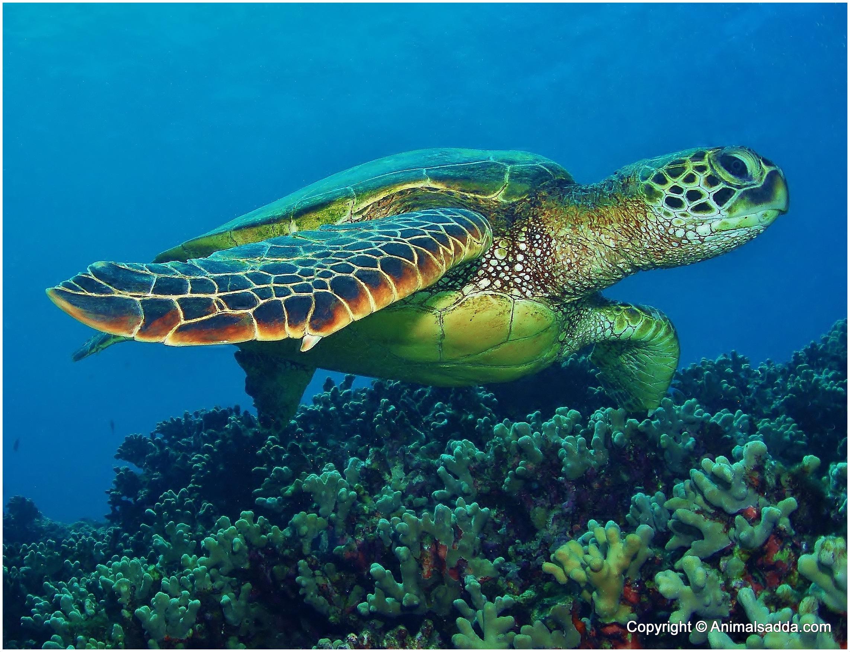 Color Of Green Sea Turtle