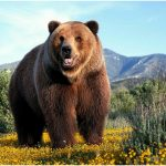 Grizzly Bear – Facts, Pictures, Behavior, Habitat, Diet, Appearance