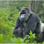 Mountain Gorilla – Facts, Pictures, Diet, Lifespan, Predators