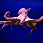 Octopus – Facts, Pictures, Behavior, Habitat, Diet, Appearance, Characteristics