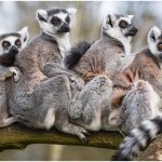 Ring-Tailed Lemur – Facts, Pictures, Behavior, Habitat, Diet
