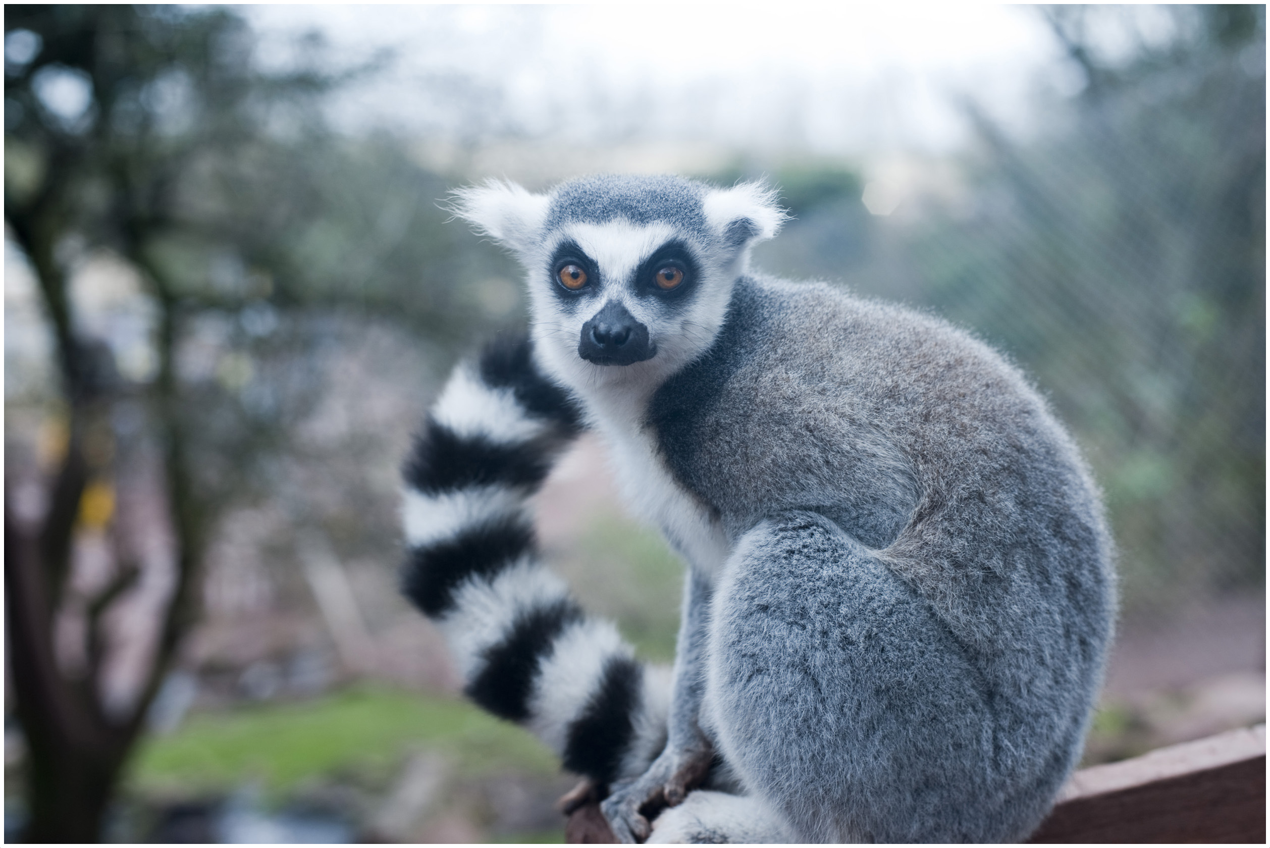 Ring Tailed Lemur Interesting Facts For Kids Pictures