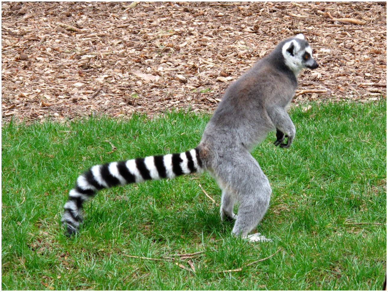 ring tailed lemur interesting facts for kids pictures behavior
