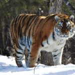 Siberian Tiger (Amur Tiger) – Facts, Pictures, Habitat, Behavior, Diet