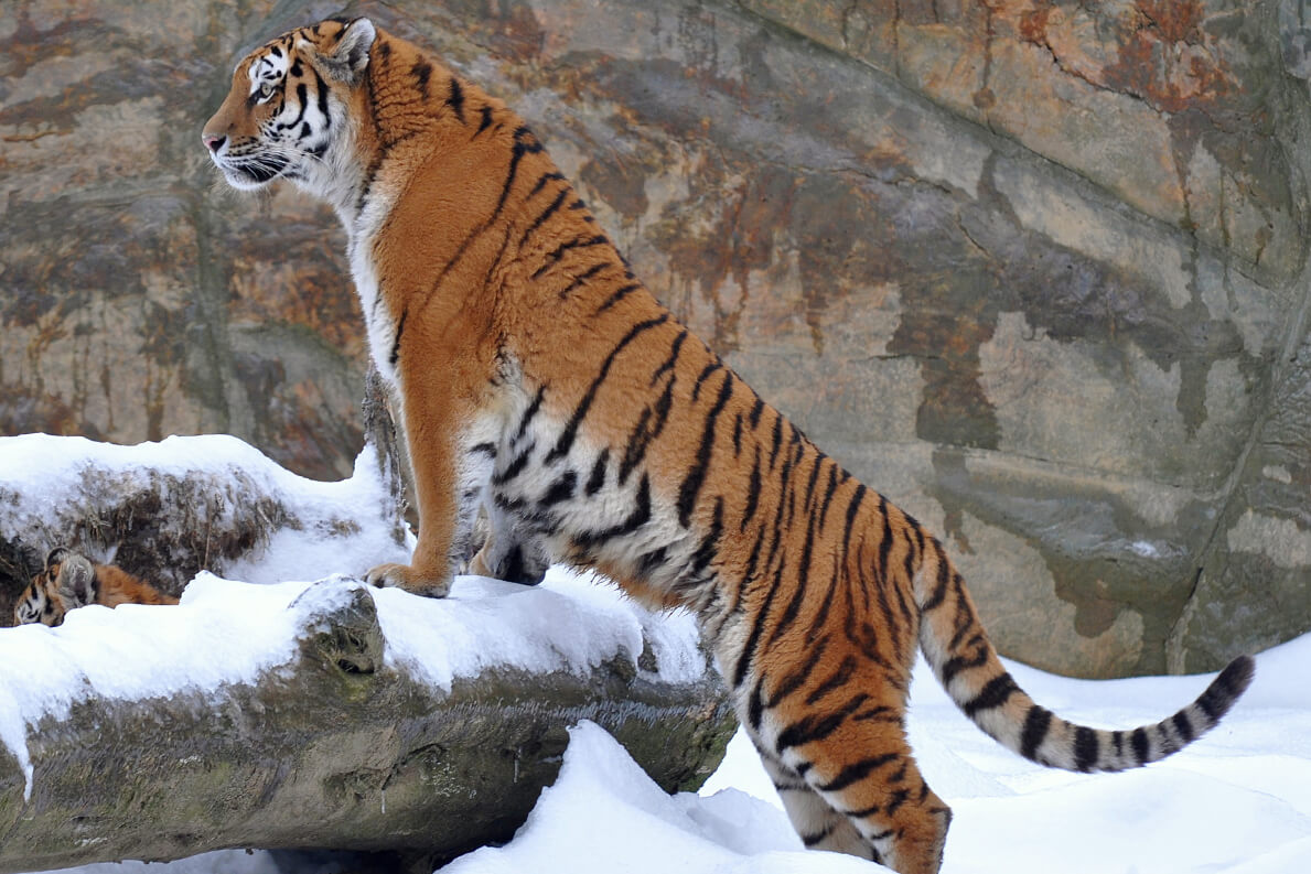 characteristics of tigers 3) tigers are solitary hunters, and generally search for food alone at night they quietly stalk their prey until they are close enough to pounce – then they kill their victim with a bite to the neck or back of the head.