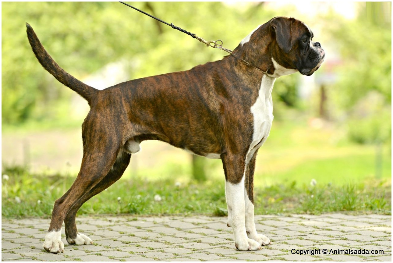Boxer Dog Price In India
