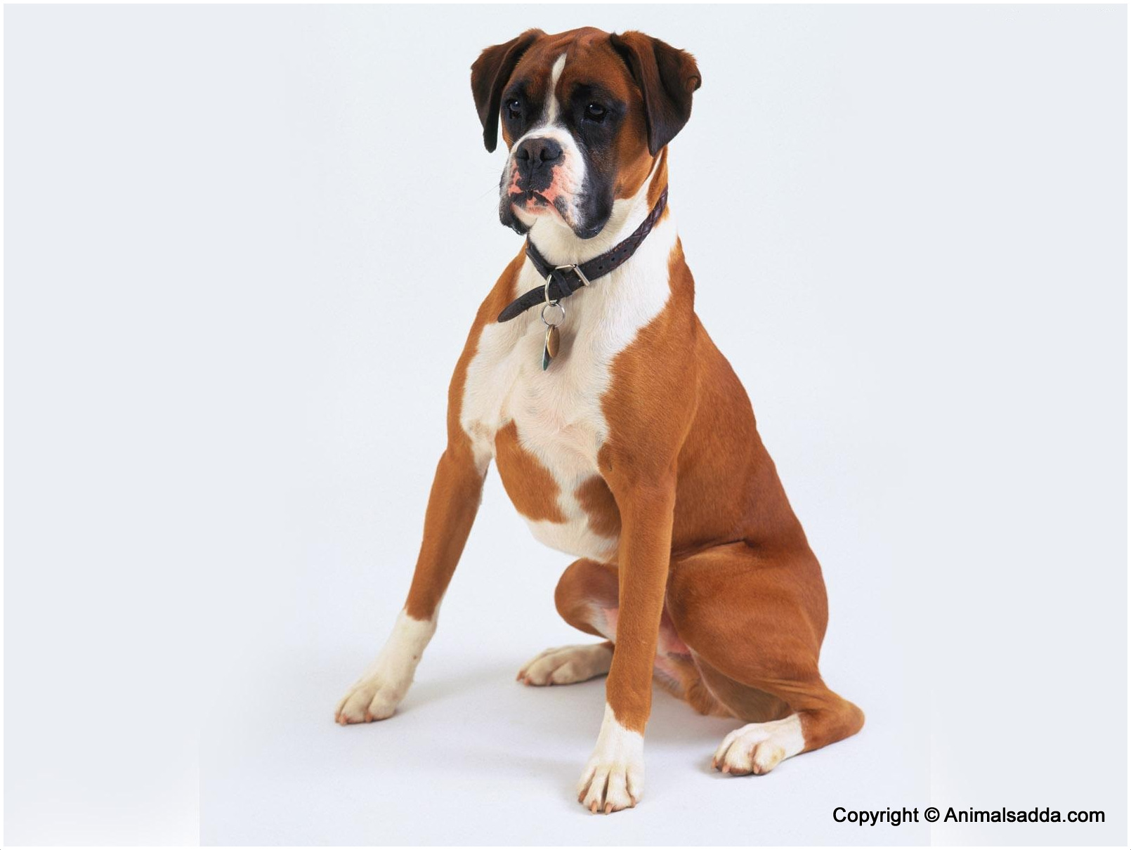 boxer dog facts pictures puppies price breeds