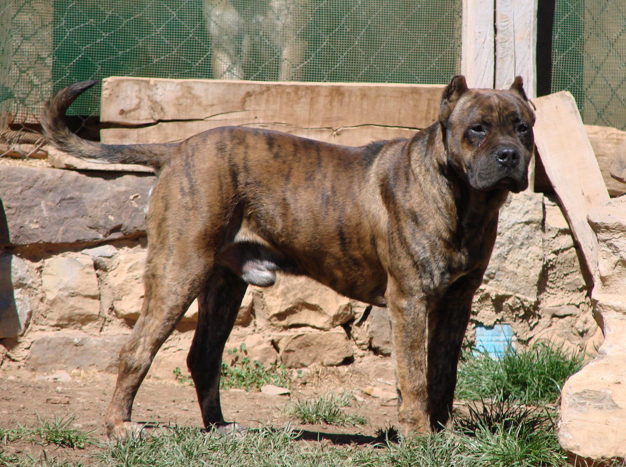 Alano Espanol Spanish Bulldog Facts Pictures
