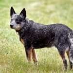 Australian Stumpy Tail Cattle Dog