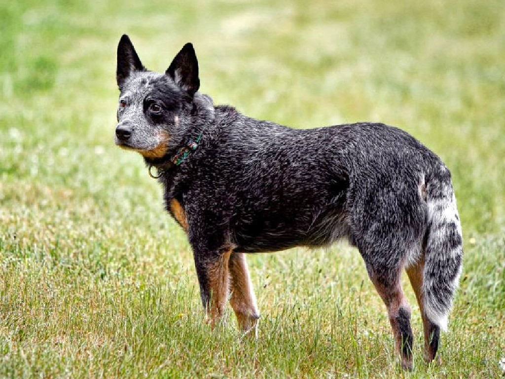 Australian Stumpy Tail Cattle Dog Facts Pictures Price Diet Information Temperament Animals Adda