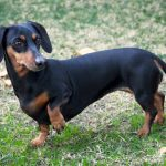 Dachshund – Puppies, Facts, Pictures, Temperament, Breeders