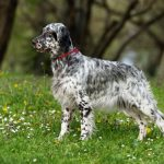 English Setter – Facts, Pictures, Temperament, Puppies, Breeders