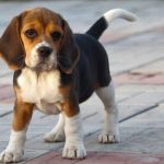 Beagle Harrier