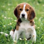 Beagle Harrier – Facts, Pictures, Puppies, Temperament, Breeders