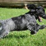 Blue Picardy Spaniel – Facts, Pictures, Puppies, Temperament, Breeders