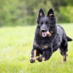 Bohemian Shepherd – Facts, Pictures, Puppies, Temperament, Breeders