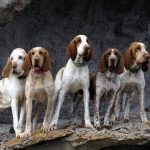 Bracco Italiano – Facts, Pictures, Puppies, Temperament, Breeders