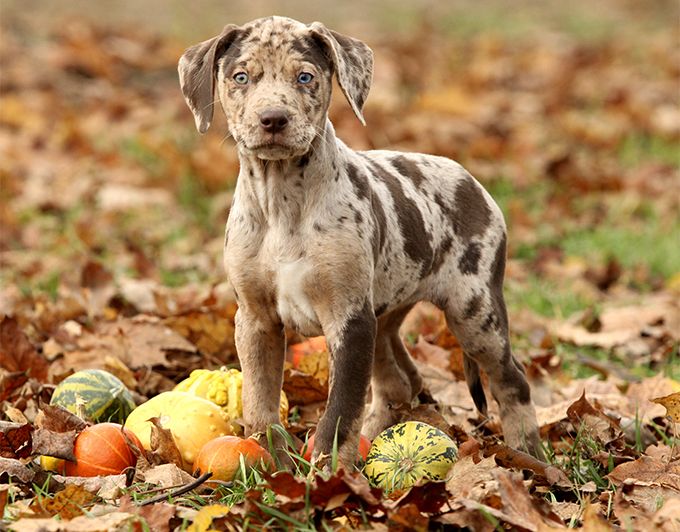 Leopard Dog Puppies For Sale